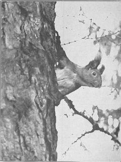 str-7-fot-3-wnet-cos-smignelo-w-galeziach-i-sploszone-zwierzatko-poczelo-przerzucac-sie-z-drzewa-na-drzewo-foto-1937-r