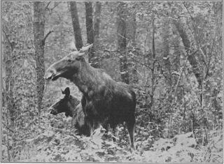 Latoś wiosną widziałem starą z małym cielakiem. Stali ot tam, pod lasem. Fot.1939 r.