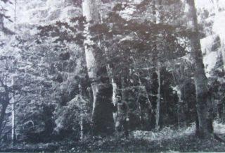Las stawał się coraz gęstszy, pierwotniejszy. Dęby, graby, jodły, sosny, nawet modrzewie tu stały w dziwnej zażyłości. Las Grzędy. Fot. 1935.